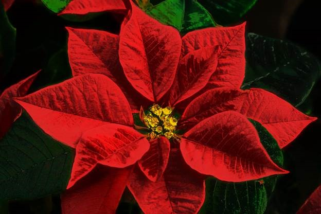Single Poinsettia Bloom